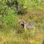 Estonian wolf. Foto: Ott Maasikas