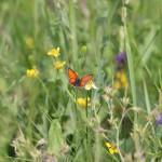 Estonian butterflies
