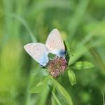 Butterflies in Estonia