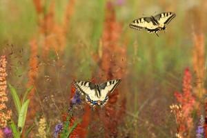 Foto:RemoSavisaar.Swallowtail