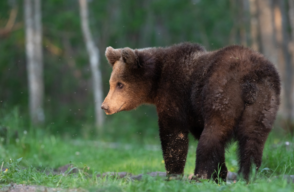 Bear watching in Estonia NW5A8516